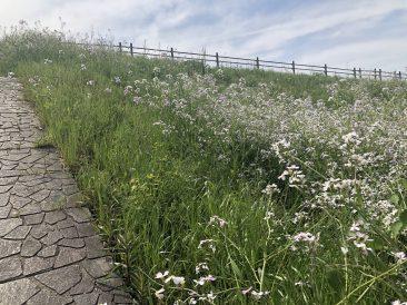 大根の花が咲く土手への階段